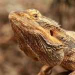 Bearded-Dragon31